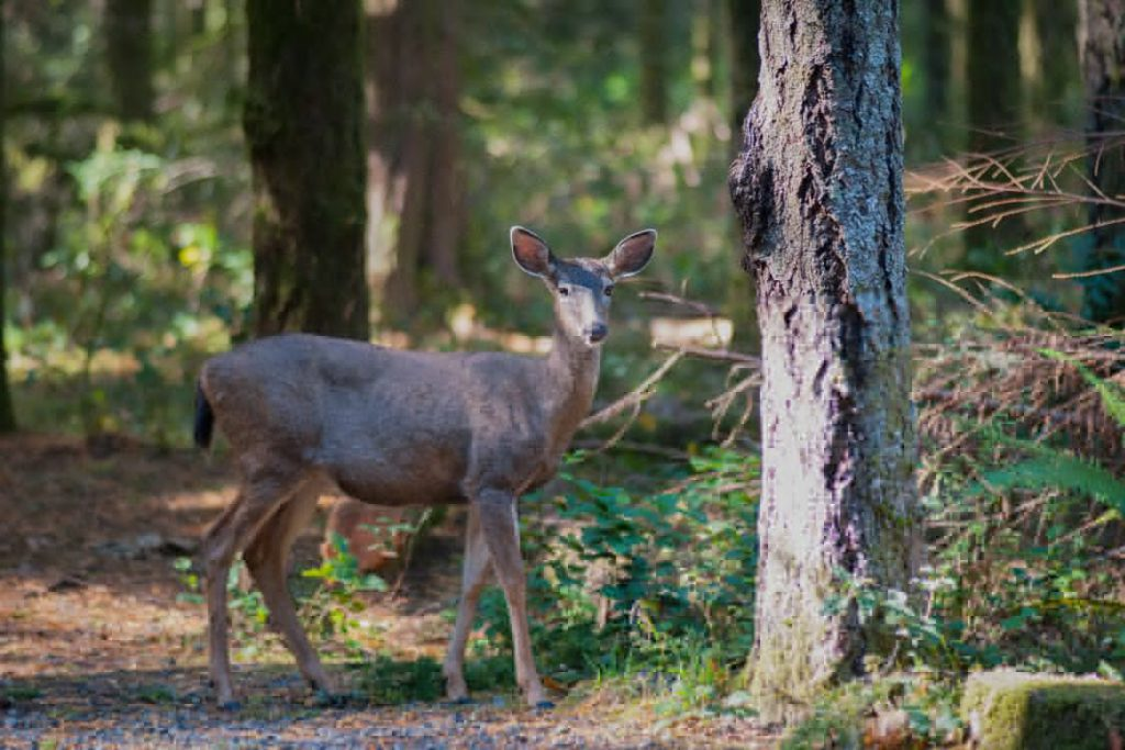 A deer standing in a forest.
