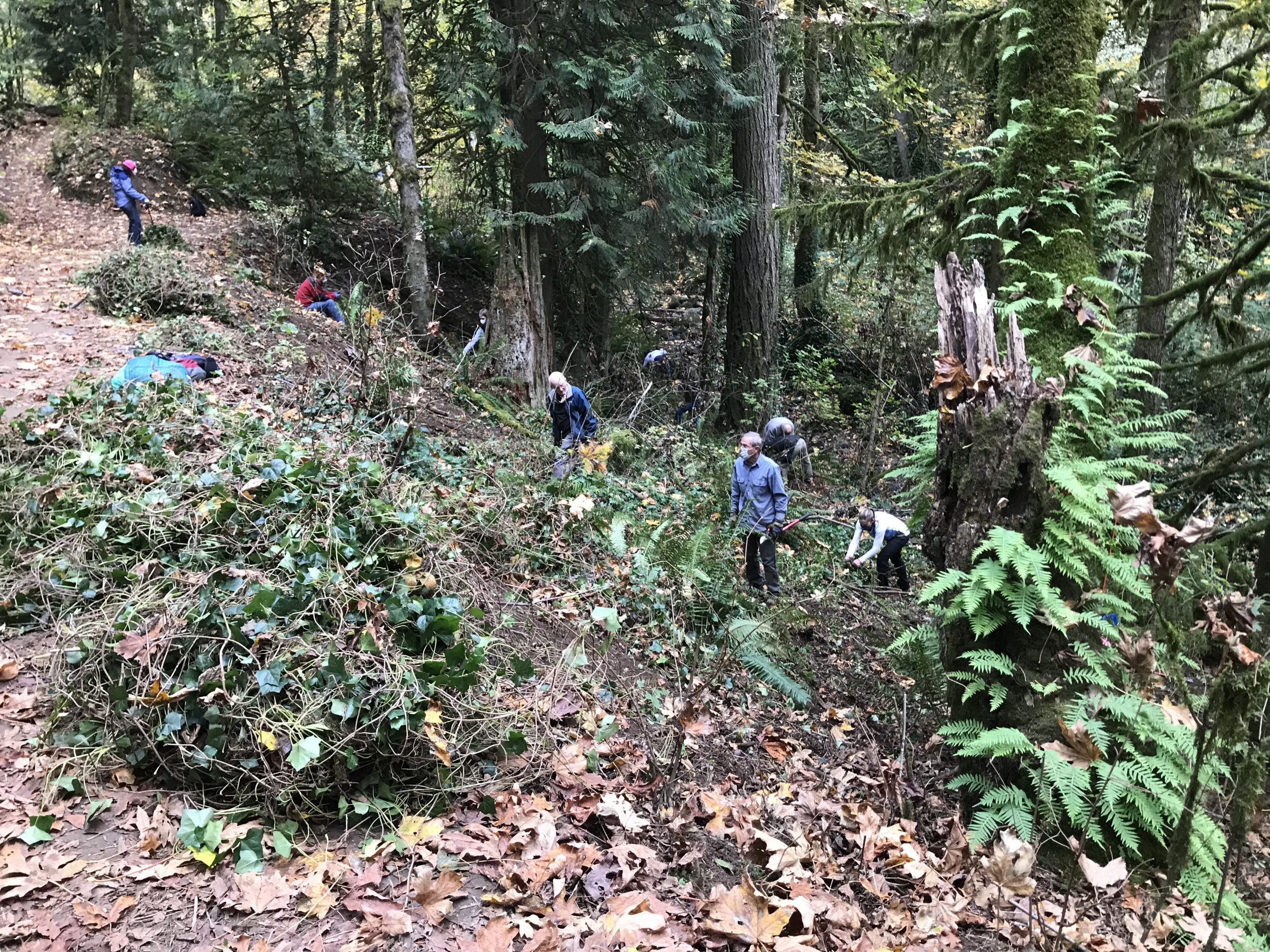 A slope with pulled ivy at the top and volunteers at work pulling more to be chopped